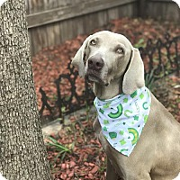 Weimaraner Dog for adoption in Denton, Texas - Aubrieta