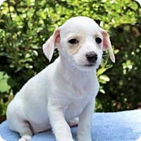 Adopt A Pet :: PUPPY BINKIE - Andover, CT