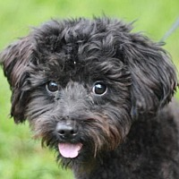 Adopt A Pet :: Bingo - ADOPTION IN PROGRESS - Staunton, VA