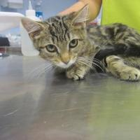 Adopt A Pet :: Toedo - Wantagh, NY