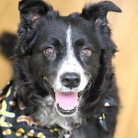 Adopt A Pet :: Sierra - Oklahoma City, OK