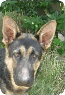German Shepherd Dog Puppy for adoption in Dripping Springs, Texas - Baby Huey