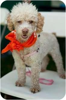 Poodle (Miniature) Dog for adoption in Los Angeles, California - Molly