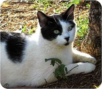 Domestic Shorthair Cat for adoption in Makawao, Hawaii - BW