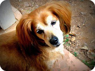 Cocker Spaniel/Dachshund Mix Dog for adoption in Mission Viejo, California - CHLOE