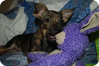 Chihuahua/Jack Russell Terrier Mix Puppy for adoption in Nashville, Tennessee - Scrappy Doo