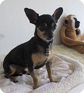 Chihuahua Mix Dog for adoption in Calgary, Alberta - Beso