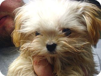 Maltese/Toy Poodle Mix Puppy for adoption in Greencastle, North Carolina - Cuddles