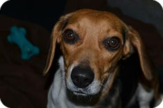 Beagle Mix Dog for adoption in Edwardsville, Illinois - Becky