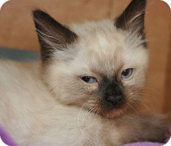 Siamese Kitten for adoption in Canoga Park, California - Koda