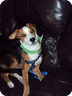 Beagle Mix Puppy for adoption in San Diego, California - Charlie