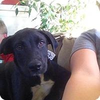 Adopt A Pet :: Shelby - Albuquerque, NM