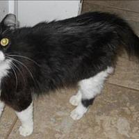Domestic Longhair Cat for adoption in San Antonio, Texas - Fluffers