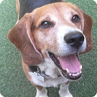 Beagle Mix Dog for adoption in South Bend, Indiana - Ace