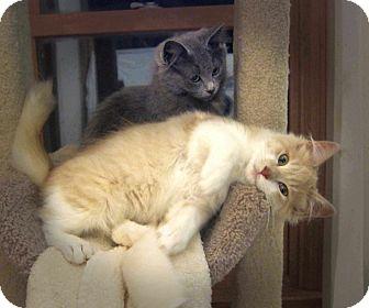 Domestic Longhair Kitten for adoption in Roseville, Minnesota - Charlie & Isabelle
