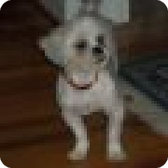 Maltese/Shih Tzu Mix Dog for adoption in Chattanooga, Tennessee - Fluffy (NC)