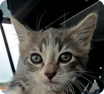 Domestic Shorthair Kitten for adoption in Schertz, Texas - Mia PB