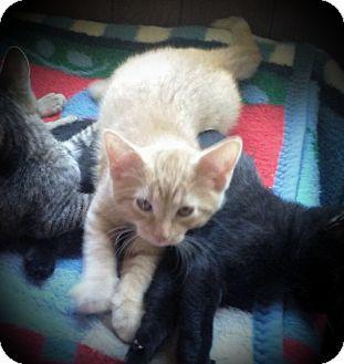 Domestic Shorthair Kitten for adoption in Fairborn, Ohio - Ginger