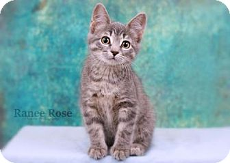 Domestic Shorthair Kitten for adoption in Sterling Heights, Michigan - Yancy