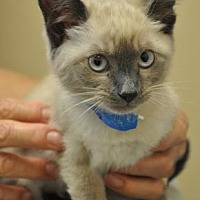 Siamese/Domestic Shorthair Mix Cat for adoption in Pompano Beach, Florida - 27971808