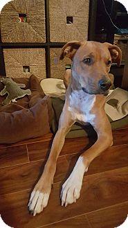 Great Dane/Greyhound Mix Dog for adoption in Vancouver, British Columbia - Luna - Watch My Video!