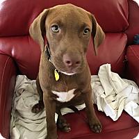 Adopt A Pet :: Bean (Sweet Girl) - Bedminster, NJ