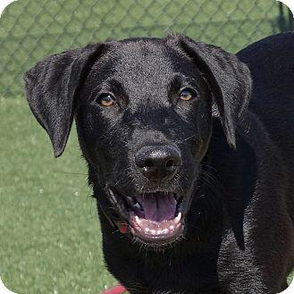 Catahoula Leopard Dog Mix Puppy for adoption in Columbia, Illinois - Jake Ryan