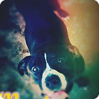 Adopt A Pet :: Maci - Odessa, TX