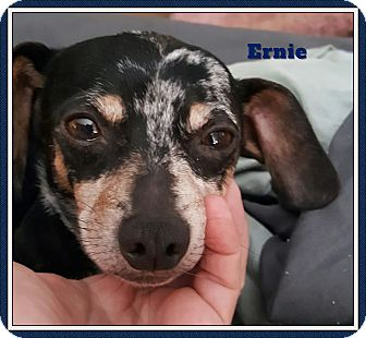 Dachshund/Chihuahua Mix Dog for adoption in Green Cove Springs, Florida - Ernie