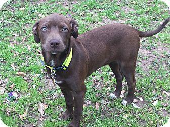Labrador Retriever Mix Puppy for adoption in Acworth, Georgia - Cocoa Bean