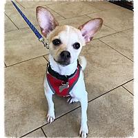 Adopt A Pet :: Rubin - Los Alamitos, CA