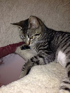 Domestic Shorthair Kitten for adoption in College Station, Texas - Leia