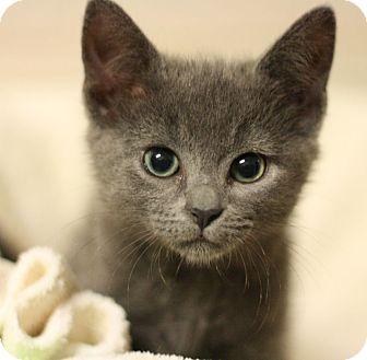 Domestic Mediumhair Kitten for adoption in Canoga Park, California - Sephora