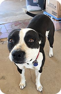American Staffordshire Terrier/American Pit Bull Terrier Mix Dog for adoption in Santa Ana, California - Molly