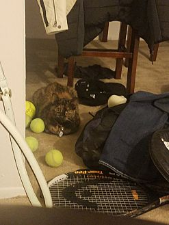 Domestic Shorthair Cat for adoption in Auburn Hills, Michigan - Cinnamon