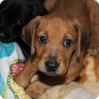 Adopt A Pet :: Nicole - Gallatin, TN