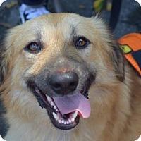 Adopt A Pet :: Kamona Egypt - NYC, NY