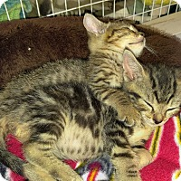 Adopt A Pet :: Kittens - Fallston, MD