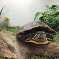 Adopt A Pet :: Bubbles - Pefferlaw, ON