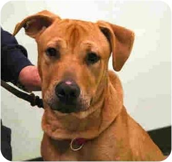 Labrador Retriever Mix Puppy for adoption in Arlington Heights, Illinois - Spencer