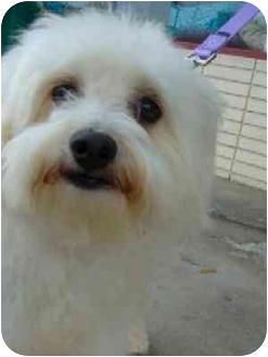 Bichon Frise/Maltese Mix Dog for adoption in La Costa, California - Sherry