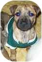 Terrier (Unknown Type, Medium) Mix Puppy for adoption in Bunnell, Florida - Billy