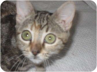 Domestic Shorthair Kitten for adoption in Huffman, Texas - Holly