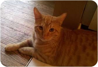 Domestic Shorthair Cat for adoption in Houston, Texas - Boadie