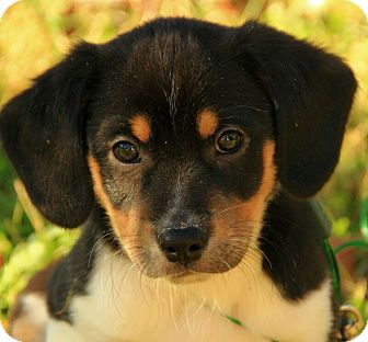 Australian Shepherd/Beagle Mix Puppy for adoption in Hagerstown, Maryland - Baldwin