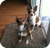 Chihuahua Puppy for adoption in Manahawkin, New Jersey - Jill and Skip