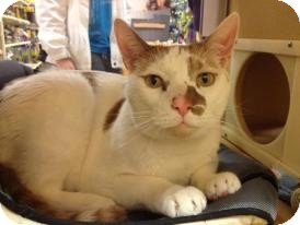 Domestic Shorthair Cat for adoption in Temple, Pennsylvania - Stitch
