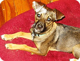 Shepherd (Unknown Type) Mix Puppy for adoption in kennebunkport, Maine - Carly - PENDING, in ME