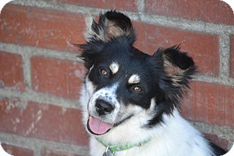 Border Collie/Spaniel (Unknown Type) Mix Dog for adoption in Redondo Beach, California - Aspen...I am 30 lbs!