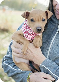 Chihuahua/Terrier (Unknown Type, Small) Mix Puppy for adoption in Portsmouth, Rhode Island - Toe-w/video!
